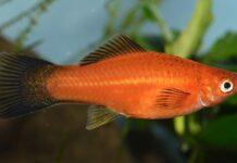 Déterminisme du sexe chez les Poeciliidae et hybridation