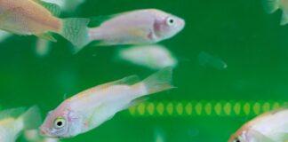 Intoxication des poissons d'aquarium-min