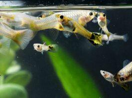 L'importance de la dureté de l'eau pour les poissons d'aquarium