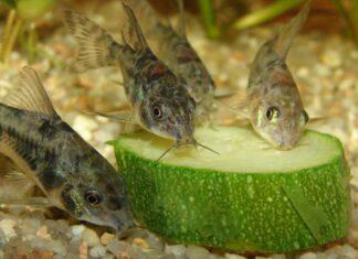 poisson Corys Paleatus mange les légumes