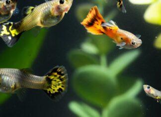 l'élevage du poisson guppy