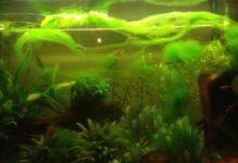 les algues vertes filamenteuses
