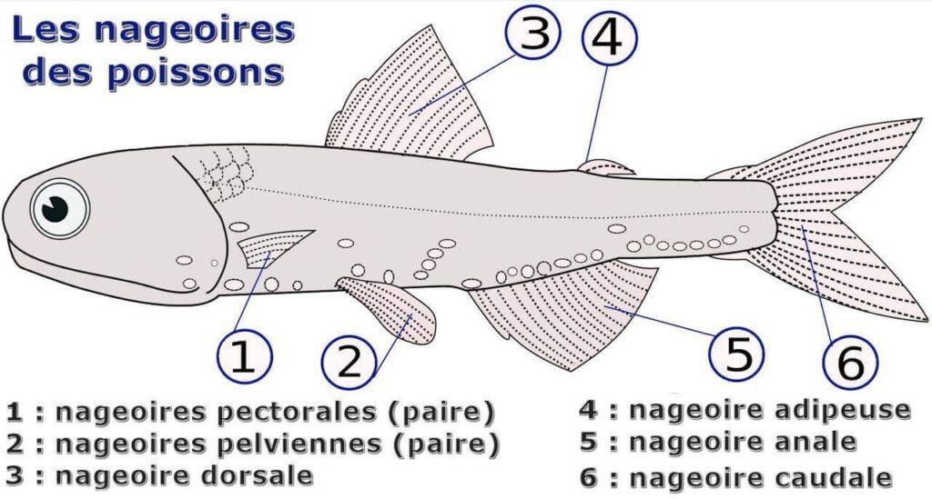les nageoires des poissons