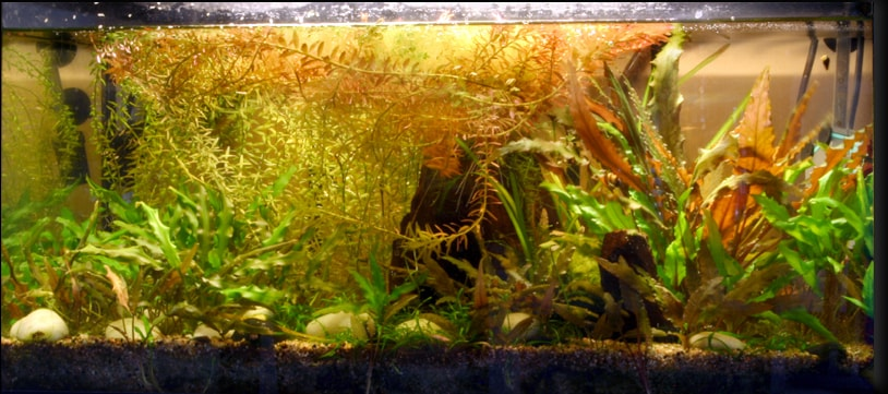 poisson combattant aquarium 54 litrs