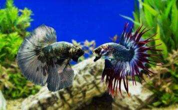 poisson combattant cohabitation