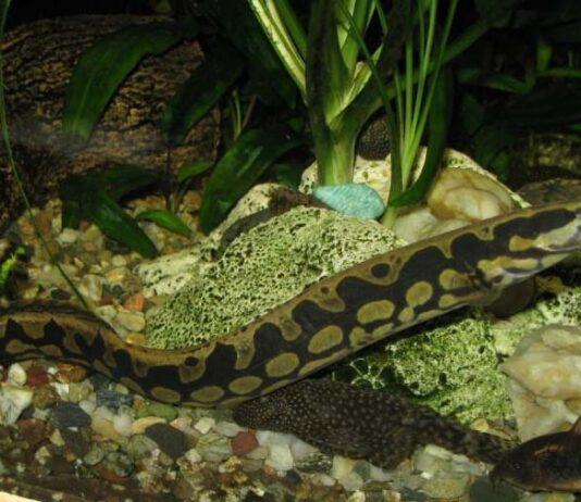 Anguille épineuse géante