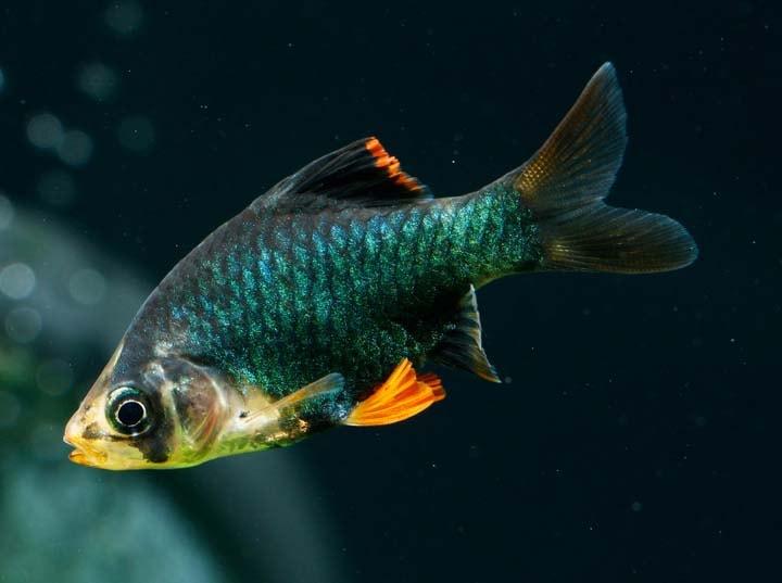 Barbus de Sumatra vert