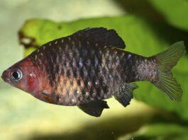 Barbus rubis noir