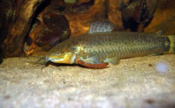 Callichthys affinis
