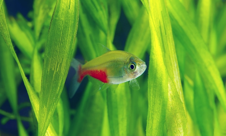 Fiche du poisson Aphyocharax rathbuni