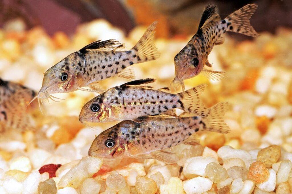 Fiche du poisson Corydoras punctatus