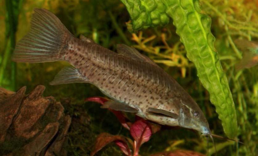 Fiche du poisson Dianema longibarbis