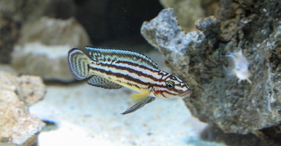 Fiche du poisson Julidochromis marlieri