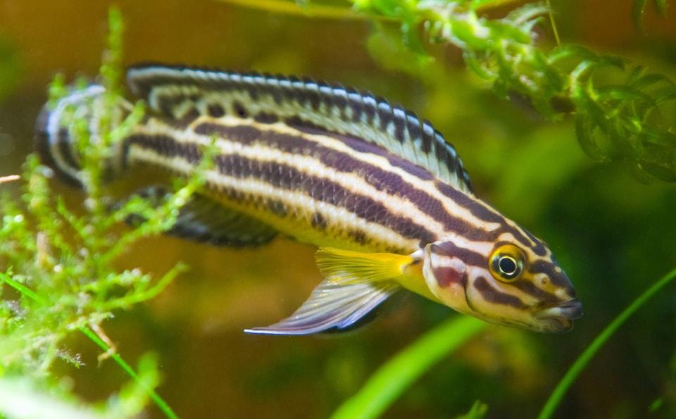 Fiche du poisson Julidochromis ornatus