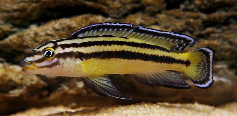 Fiche du poisson Julidochromis regani