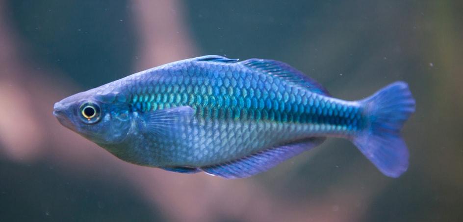 Fiche du poisson Melanotaenia lacustris