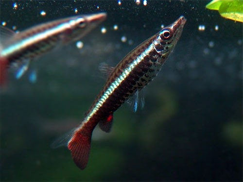 Fiche du poisson Nannobrycon eques