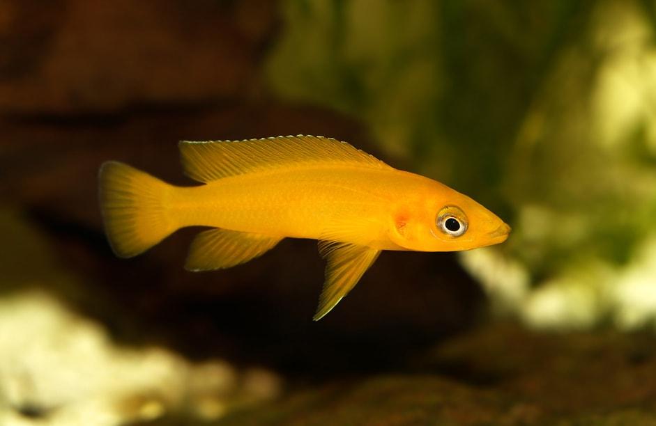 Fiche du poisson Neolamprologus leleupi