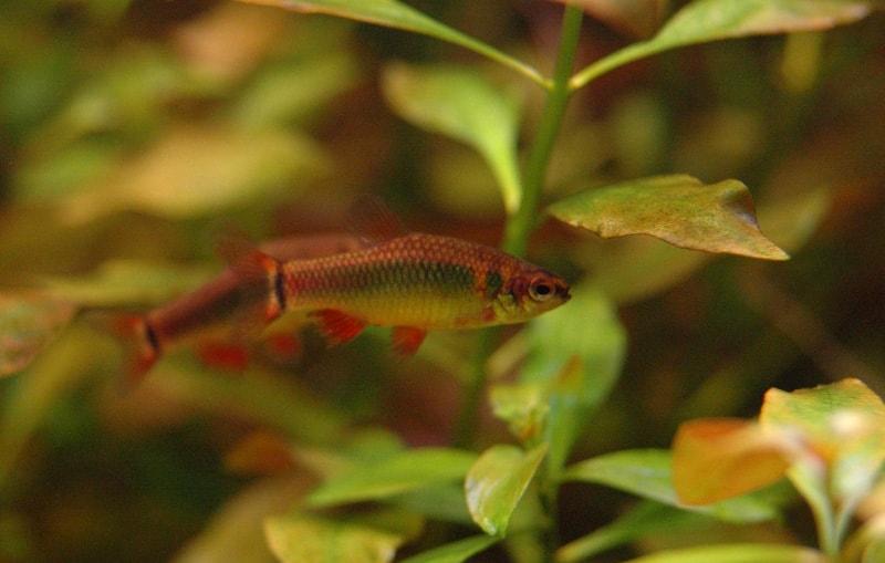 Fiche du poisson Neolebias ansorgii