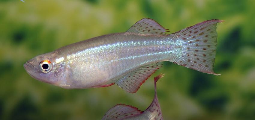 Fiche du poisson Procatopus aberrans