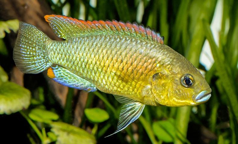 Fiche du poisson Pseudocrenilabrus philander dispersus