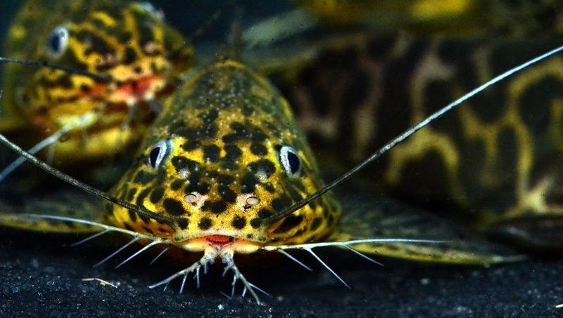 Fiche du poisson Synodontis schoutedeni