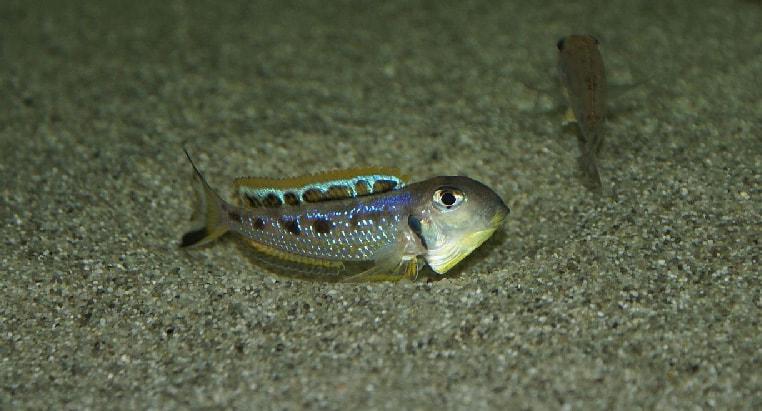 Fiche du poisson Xenotilapia ochrogenys