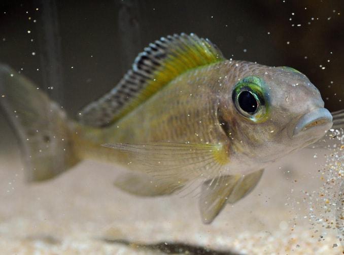 Fiche du poisson Xenotilapia spilopterus