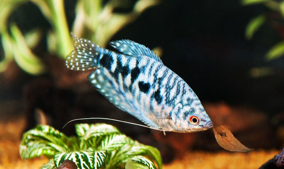 Gourami bleu
