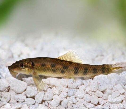 Gyrinocheilus aymonieri