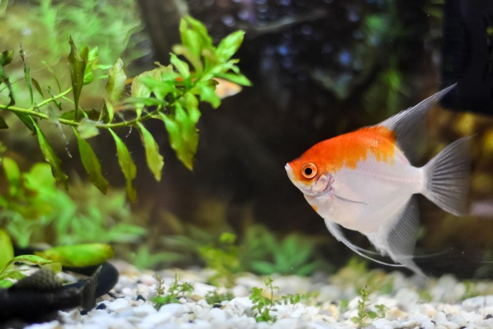Les maladies des Plantes d'Aquarium