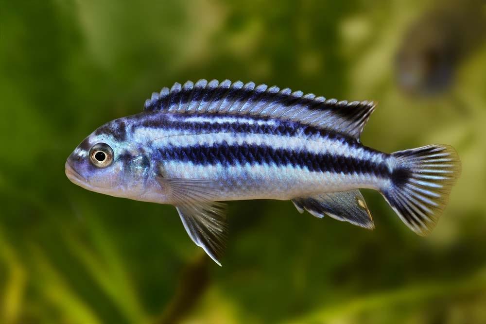 Melanochromis johannii