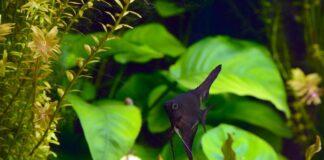 Morphologie, anatomie et multiplication des plantes aquatiques