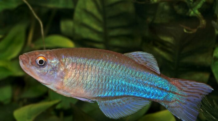 Procatopus aberrans