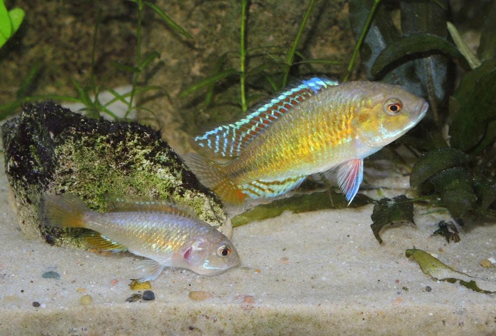 Pseudocrenilabrus multicolor dimorphisme