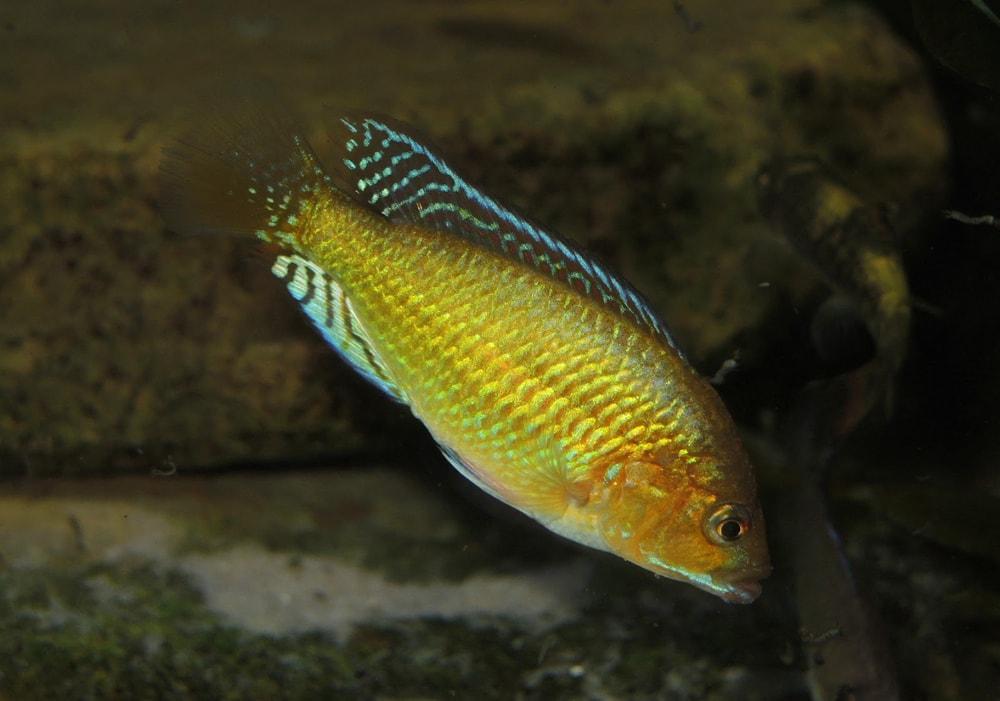 Pseudocrenilabrus multicolor multicolor
