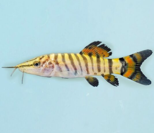 Syncrossus helodes