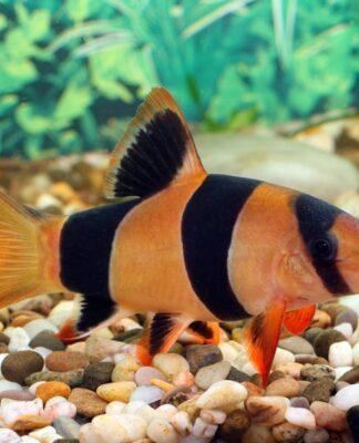 Tout savoir sur le poisson Botia Macracantha