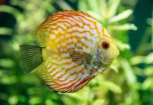 Une solution de maintien des discus en aquarium planté