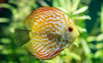 Une solution de maintien des discus en aquarium planté