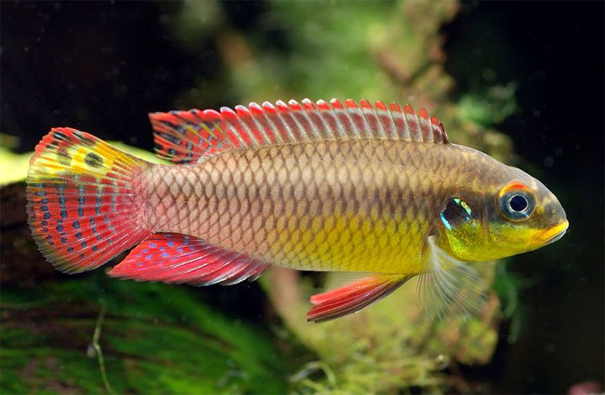 cichlidés Pelvicachromis taeniatus