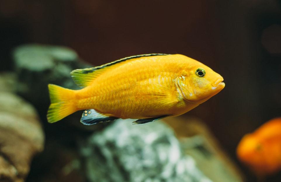 labido jaune
