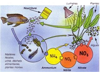 les maladies des plantes aquatiques
