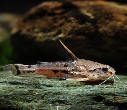 poisson Amblydoras hancockii