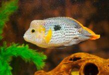 poisson Andinoacara rivulatus