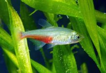 poisson Aphyocharax rathbuni