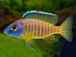 poisson Aulonocara korneliae