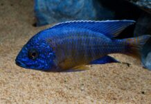 poisson Aulonocara stuartgranti