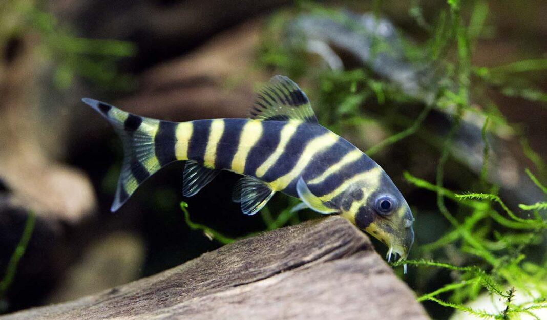 poisson Botia dario