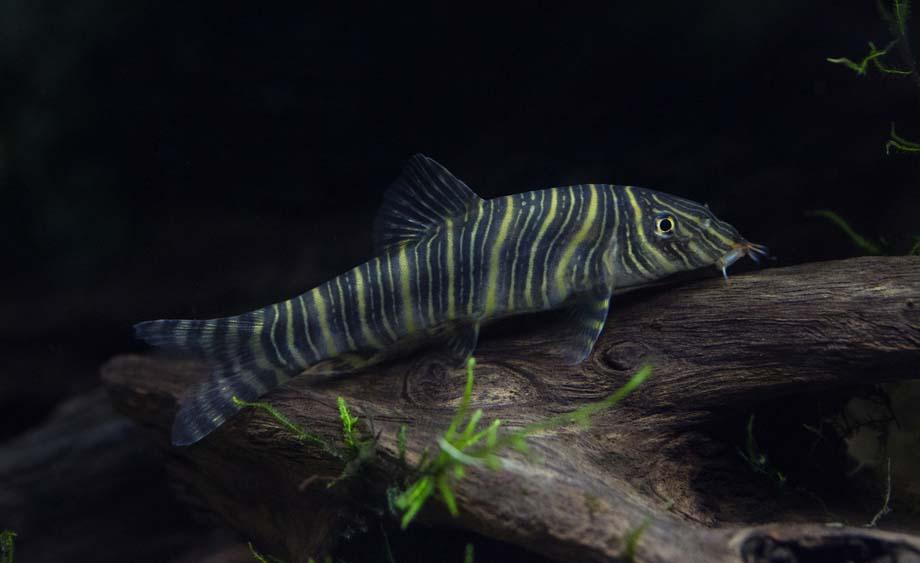poisson Botia striata